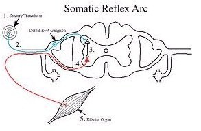 chronic myofascial pain – Somatic Reflex Arc