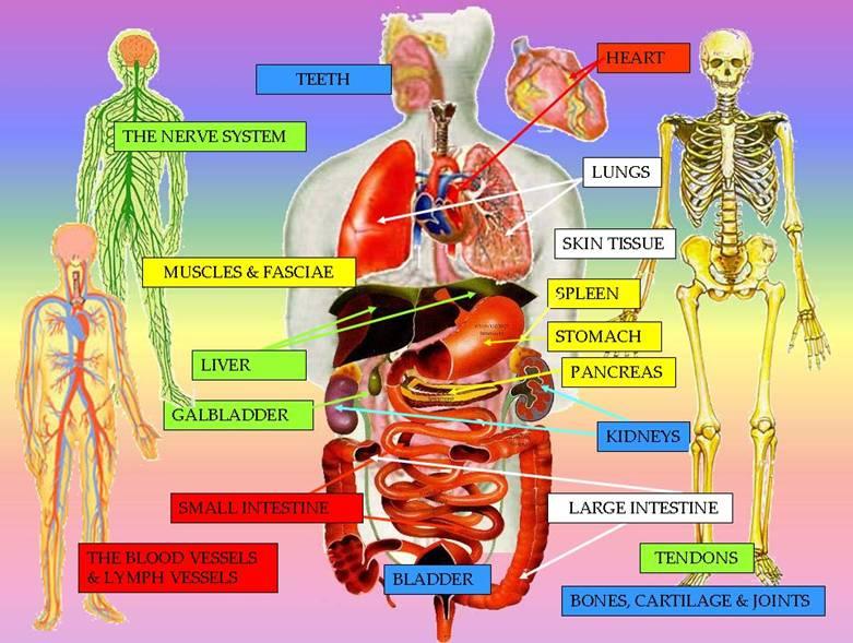 Taoist 5 Elements Nutrition Organs